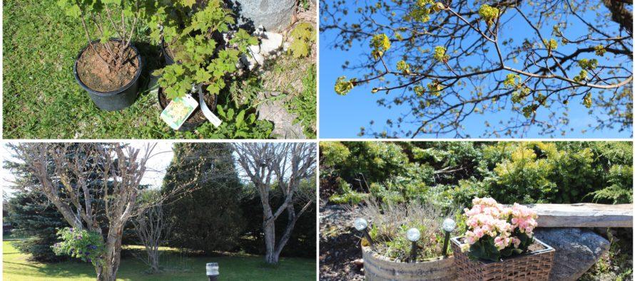 Helena-Reet: Trädgårdssysslor och de första inköpen hos en handelsträdgård
