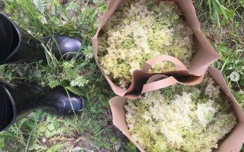 Drottningar på de nordiska ängarna – ÄLGGRÄS (Filipendula ulmaria) och BRUDBRÖD (Filipendula vulgaris)
